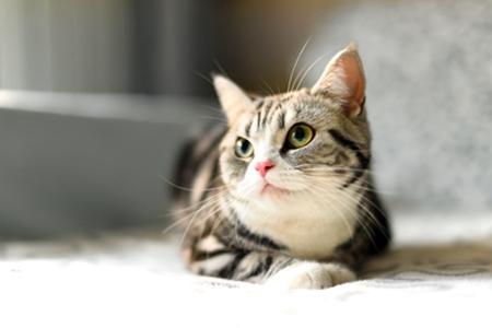 宠物猫吐毛球要多注意,高频率吐毛球可能得疾病