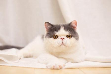 宠物猫打疫苗会得肿瘤?宠主了解猫疫苗计划