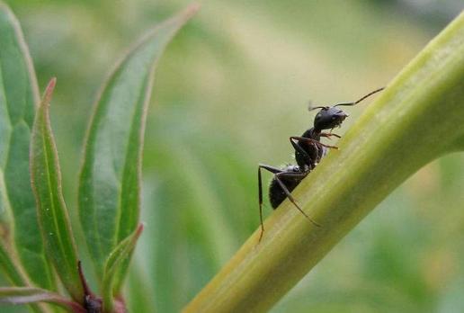 如何消灭蚂蚁的方法有哪些 蚂蚁有什么危害