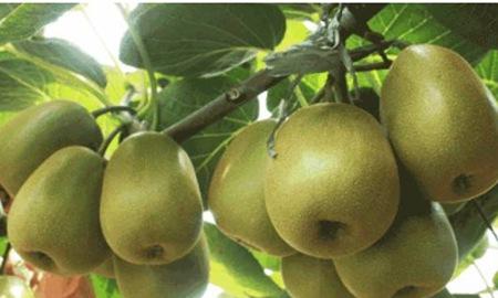 猕猴桃是热性还是凉性,女性吃猕猴桃的三个好处