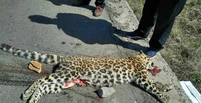 公路现死亡金钱豹 网友:豹子最高时速120公里能