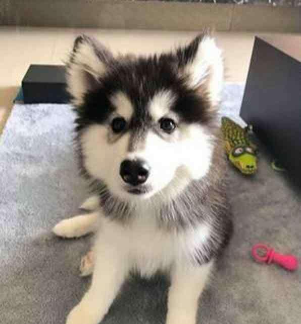 阿拉斯加犬怎么训练上厕所 训练定点大小便,但狗狗一泡尿分两次拉,这对训练有影响吗?