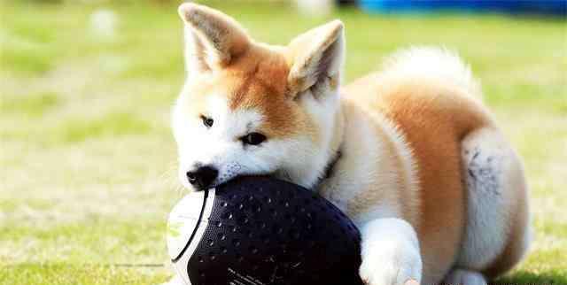秋田为什么禁养 秋田犬虽萌,但养起来可不简单,在有些城市都成了禁养犬