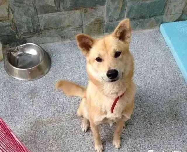 最漂亮的中华田园犬 同样是土狗,为什么柴犬比中华田园犬更受欢迎?它们的区别在哪里