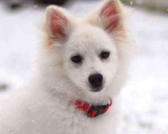 意大利狐狸犬 最像狐狸的四种狗狗,最后一种真真假假难分辨
