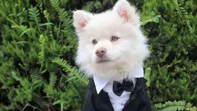 博美犬寿命一般多少年 寿命最长的7种狗狗,柴犬居然榜上有名,快来看看有没有你的狗狗
