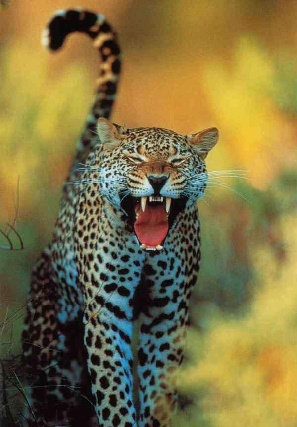 老虎是什么之王 豺狼虎豹有什么含义?老虎虽号称百兽之王,但遇到这种群体也认栽