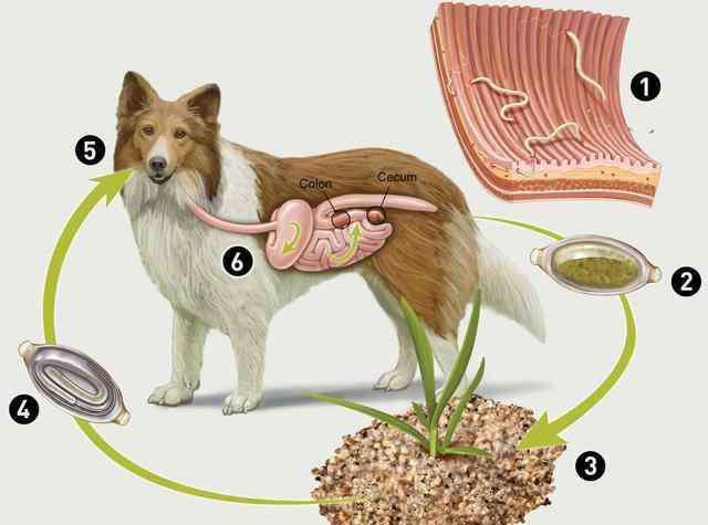幼犬驱虫药 幼犬什么时候开始驱虫?驱虫该注意什么?要用什么驱虫药?