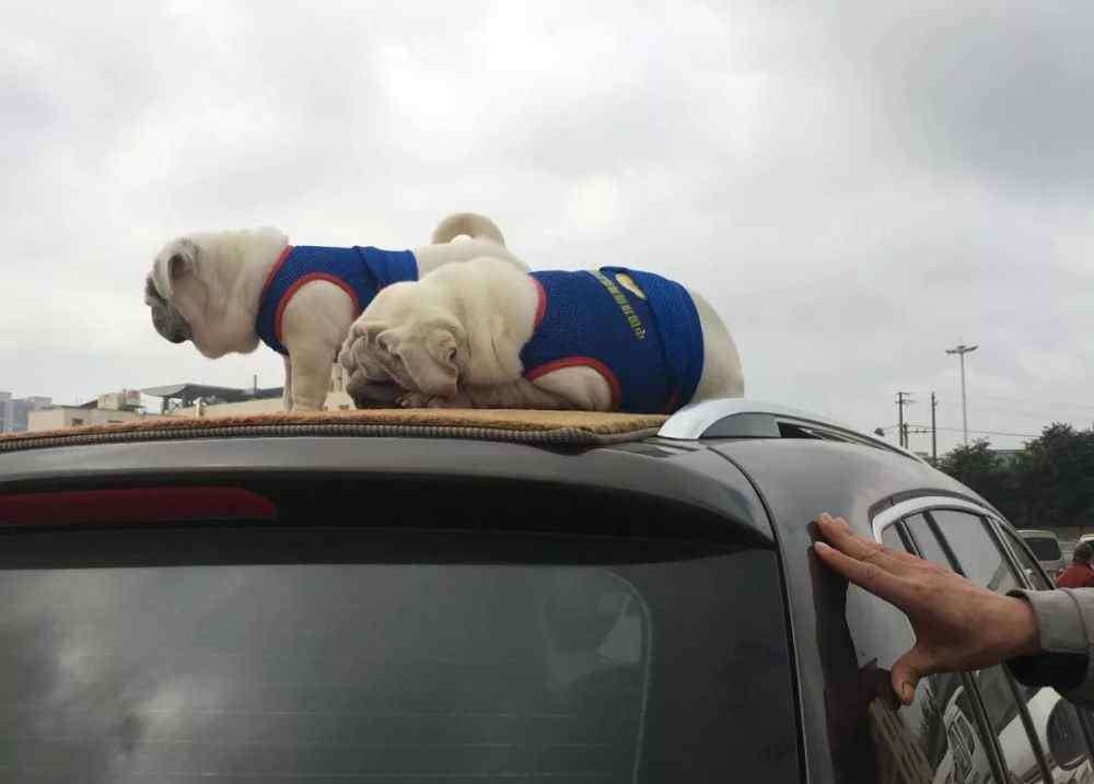 哈巴犬 哈巴犬:混种犬好还是纯种犬好,在你看来什么狗更值得呢?