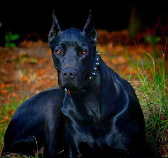 杜莎犬 本土最优秀的4种狼犬,实用性强,护卫能力让邻居都不敢登门