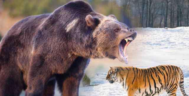 老虎战棕熊 棕熊的搏斗技巧是老虎的对手吗?它与东北虎谁厉害?