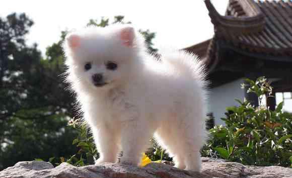 小型犬智商排名 智商最高的几种小型犬,柯基只能排第三,第一最受人们欢迎!