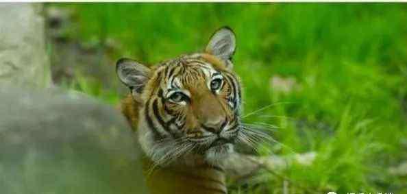 美国动物园回应老虎检测呈阳性 第一例人传动物案例出现!美国动物园回应老虎检测呈阳性