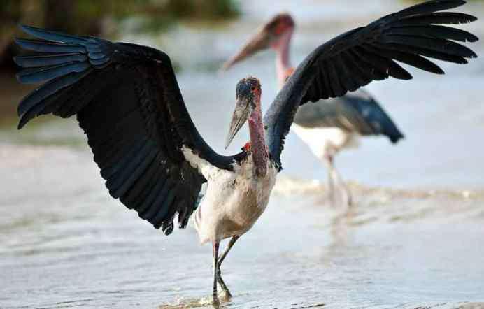 世界上最丑的动物 它是世界上最丑的鸟,不仅吃腐肉还吃垃圾,却成了乌干达的国鸟