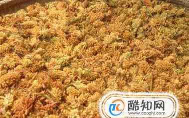 松花粉的功效与作用及食用方法 松花粉作用和功效及简单食用方法