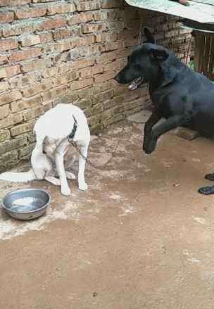兽交黑狗白狗 黑狗冲着白狗乱吼,白狗听不下去,扭头过边不屑一顾