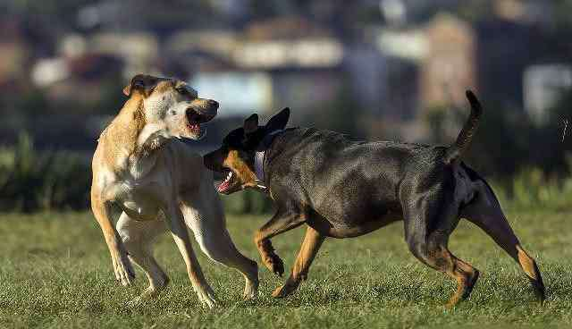 怎么做到让狗狗上我 我怎样才能不让我的狗打架?有效的方法阻止狗的攻击