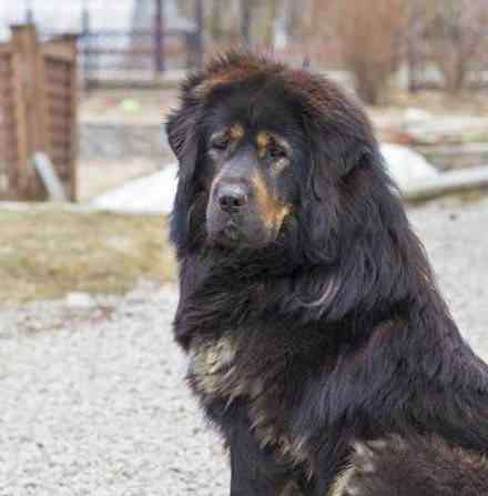 英国女王的狗 属于皇室的五种狗狗,国内有两种,还有一种英国女王最爱