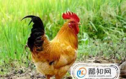 公鸡母鸡 母鸡和公鸡 哪个更有营养