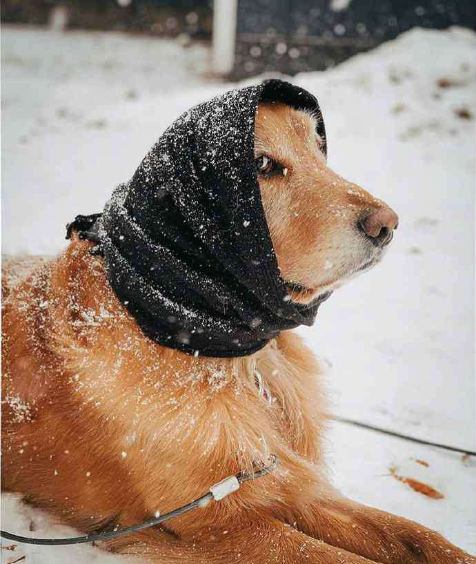 金毛头像 金毛头像 / 是你的狗子吗
