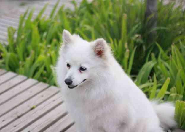 日本狐狸狗 日本狐狸犬到底有什么魅力?媲美北极狐!