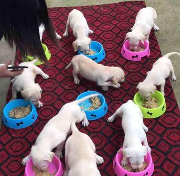 小狗抢食 一只小狗抢食,不安分吃自己碗里,餐餐被主人抓包