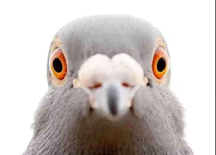 做种鸽最好的眼睛图片 【经验】史蒂芬谈鸽子的眼睛,探索其中奥秘