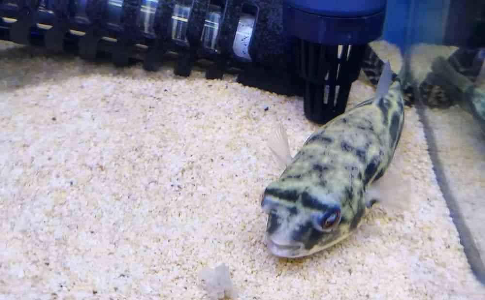 斑马狗头鱼 讨人喜爱的鱼,有的表里不一:这才是真正的斑马狗头