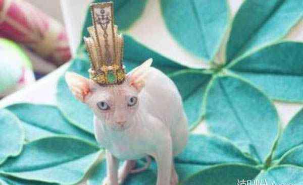 霍思燕家的猫 霍思燕家的小玉生了吗 她家的猫是什么品种