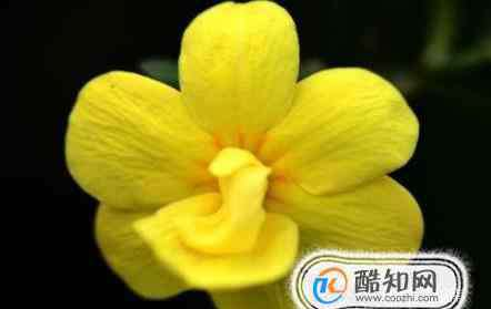 迎春花怎么养殖方法 迎春花的养护与种植方法