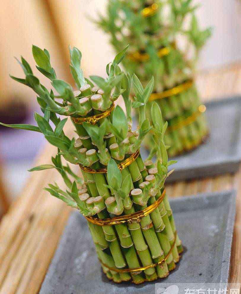 富贵竹叶子发黄怎么办 富贵竹养殖注意事项大全