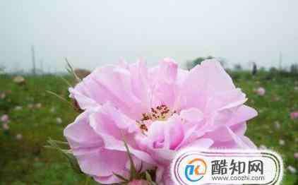 玫瑰精油哪个牌子好 如何挑选玫瑰纯露,玫瑰纯露哪个牌子好