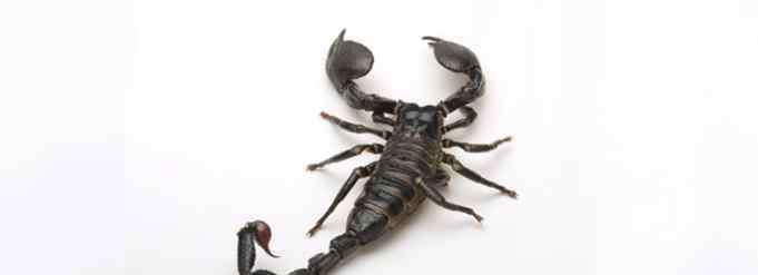 蝗虫吃什么 蝎子吃什么食物?