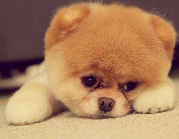 狗凶狠叫声5分钟 种犬配狗图片 凶猛1狗叫声叫5分钟的