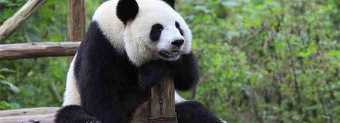 猫熊 熊猫为什么叫熊猫?