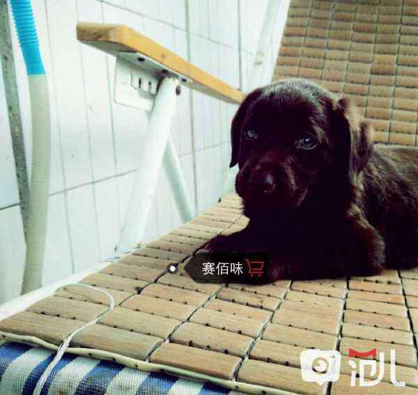 拉布拉多多少钱一只幼犬 拉布拉多幼犬50元以下 拉布拉多犬价格