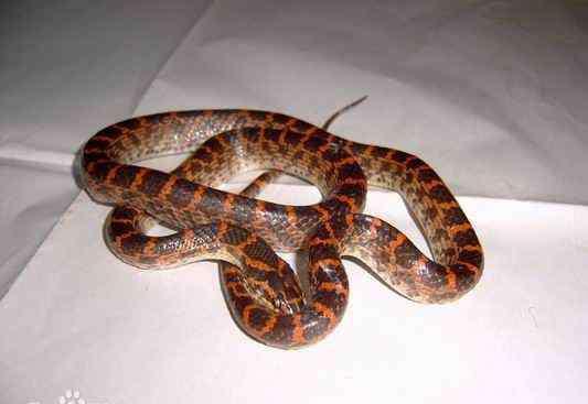 赤练蛇图片 民间常见的火赤练蛇图片