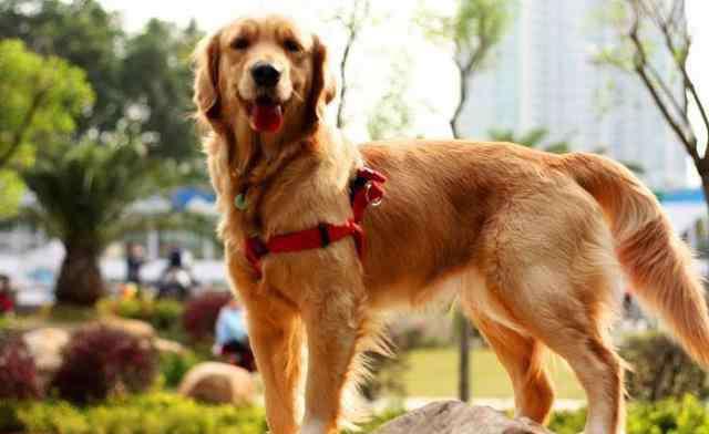 小金毛犬怎么训练 金毛训练 金毛犬怎么看纯不纯