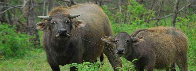 丑牛 生肖牛为什么又叫丑牛?