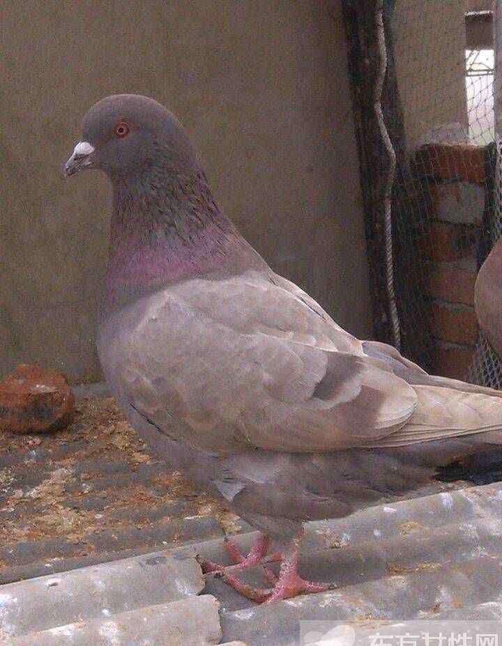 鸽子的营养 老鸽子的营养价值 一只鸽子的营养居然胜过九只鸡