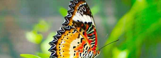益虫 蝴蝶属于益虫还是害虫?