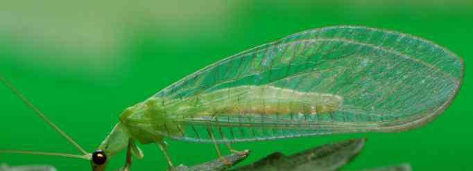 草蛉 为什么说草蛉是除害能手呢?