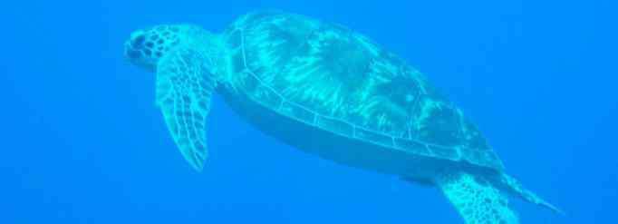鳃 海龟没有鳃为什么能下海?