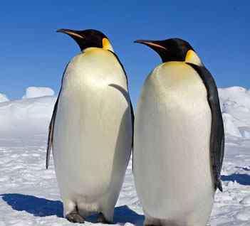 大海雀 世界上最耐寒的鸟是什么?