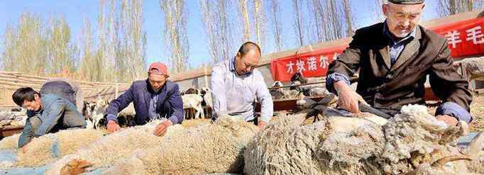 剪羊毛 剪羊毛会对绵羊有伤害吗?