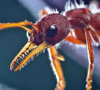 公牛蚁 世界上最大的蚂蚁是什么?