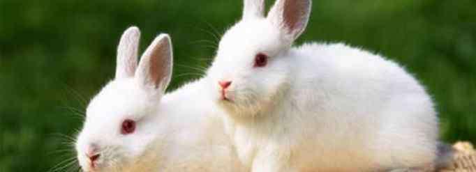 卯兔 生肖兔为什么又叫卯兔?