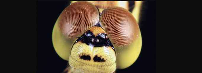 有复眼的昆虫有哪些 什么昆虫有复眼?