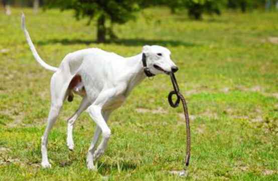 威斯拉犬 世界上十大跑得最快的狗排行榜,灵缇成径赛冠军(60公里/小时)