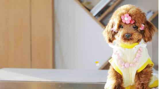 狗一般活多少年 泰迪狗的寿命是多少年?15-20年(附养泰迪狗注意事项)